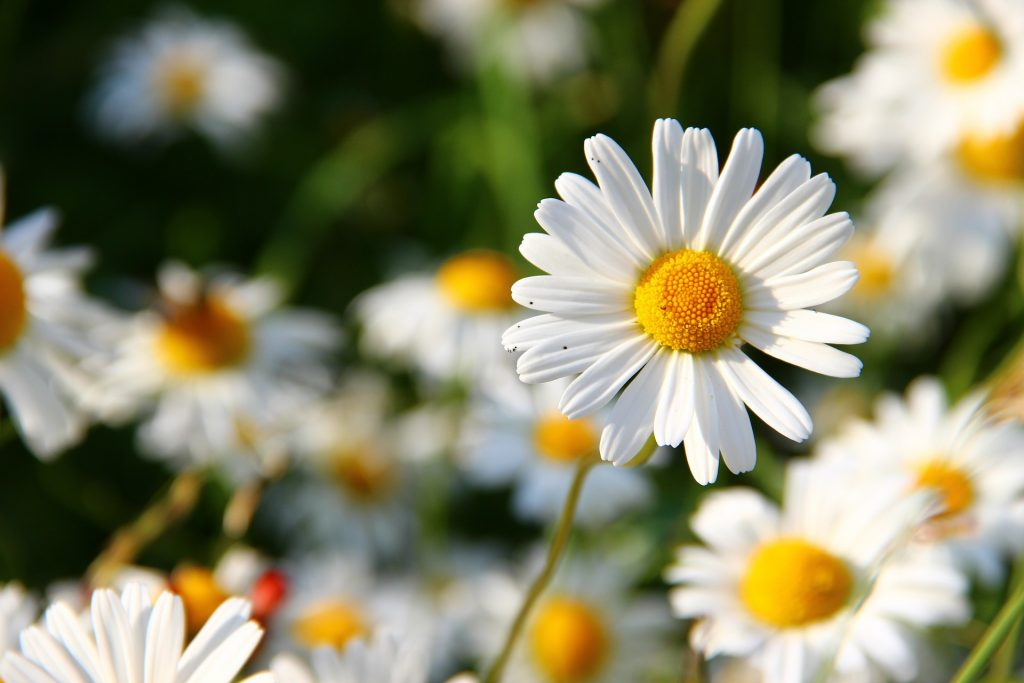 daisies-276112_1920